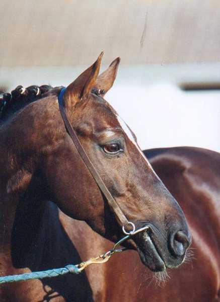 Linaro SL, étalon poney