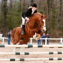 Etalon poney Anglo Arabe