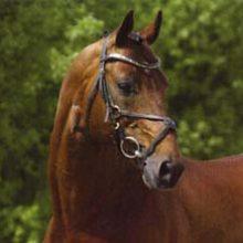 Zodiak étalon hollandais poney de CSO